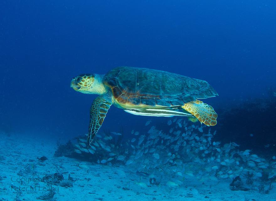 Loggerhead Turtle-Caretta caretta swimming over a reef in south east Florida.