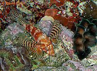 "0107-08pp  Fuzzy Dwarf Lionfish  ""Venomous Spines on Fish"" - Dendrochirus brachypterus  © David Kuhn/Dwight Kuhn Photography"