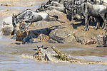 A large Nile crocodile (Crocodylus niloticus) attacking a white-bearded wildebeest (Connochaetes taurinus albojubatus) as it crosses the Mara River. Northern Serengeti, Serengeti National Park, Tanzania (early September).