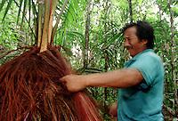 ÍndioArmando Garrido Werekena, morador da comunidade de Anamoim no alto rio Xié,corta com uma afiada lâmina as fibras da árvore de piaçaba (Leopoldínia píassaba Wall),antes de cortá-la. A  árvore que normalmente aloja os mais variados tipos de insetos representando um grande risco aos índios durante sua coleta . A fibra  um dos principais produtos geradores de renda na região é  coletada de forma rudimentar. Até hoje é utilizada na fabricação de cordas para embarcações, chapéus, artesanato e principalmente vassouras, que são vendidas em várias regiões do país.<br />Alto rio Xié, fronteira do Brasil com a Venezuela a cerca de 1.000Km oeste de Manaus.<br />06/06/2002.<br />Foto: Paulo Santos/Interfoto Expedição Werekena do Xié<br /> <br /> Os índios Baré e Werekena (ou Warekena) vivem principalmente ao longo do Rio Xié e alto curso do Rio Negro, para onde grande parte deles migrou compulsoriamente em razão do contato com os não-índios, cuja história foi marcada pela violência e a exploração do trabalho extrativista. Oriundos da família lingüística aruak, hoje falam uma língua franca, o nheengatu, difundida pelos carmelitas no período colonial. Integram a área cultural conhecida como Noroeste Amazônico. (ISA)