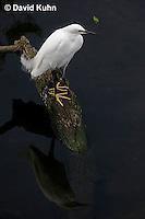 0201-08nn  Snowy Egret, Egretta thula © David Kuhn/Dwight Kuhn Photography