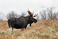 Bull Moose, Grand Teton National Park