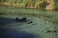 A photo of a grizzly sow with cubs swimming into a school of salmon in Alaska's Katmai National Park. Grizzly Bear or brown bear alaska Alaska Brown bears also known as Costal Grizzlies or grizzly bears Grizzly Bear Photos, Alaska Brown Bear with cubs. Purchase grizzly bear fine art limited edition prints here Grizzly Bear Photo Bear Photos,