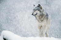 Gray Wolf (Canis lupus) in snowstorm.