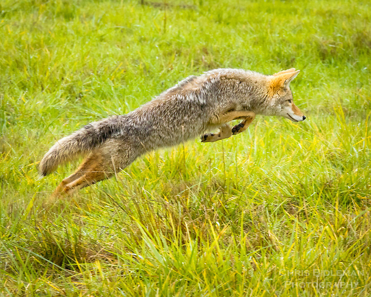 A coyote is starting its leap through the grass captured with front paw up and hind legs in full extension in the Ridgefield National Wildlife Refuge