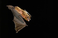 Evening Bat, Nycticeius humeralis, adult in flight,Willacy County, Rio Grande Valley, Texas, USA, June 2006