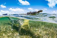 American crocodile, Crocodylus acutus, surfacing to breathe, in seagrass meadow, Chinchorro Banks, Xcalak, Quintana Roo, Mexico, Caribbean Sea, Atlatnic Ocean