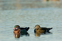 Wood DUCK (Aix sponsa) pair.  Pacific Northwest.  Winter.