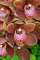 Stock Orchid Images | Cymbidium