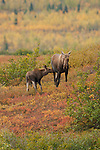 A moose feeds its young calf in Denali National Park, Alaska.