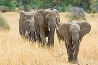 African elephants, Loxodonta africana, Tarangire National Park, Tanzania, Africa