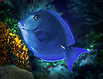 13 June 2014: A Blue Tang (Acanthurus coeruleus) is seen on the reef at ZZ Top Wall, on the North Shore of Grand Cayman Island. Located in the British West Indies in the Caribbean, the Cayman Islands are renowned for excellent scuba diving, snorkeling, beaches and banking.  Mandatory Credit: Ed Wolfstein Photo *** RAW (NEF) Image File Available ***