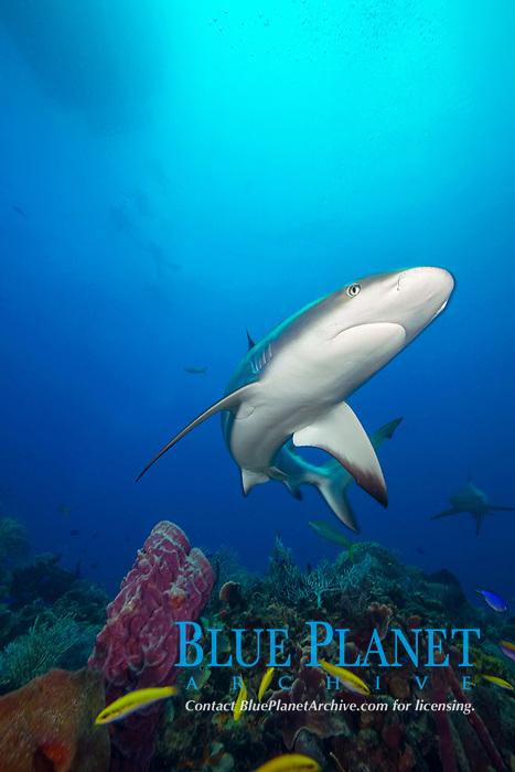 Caribbean reef sharks, Carcharhinus perezii, Little Bahama Bank, Bahamas, Caribbean, Atlantic