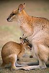 Agile wallaby with joey, Australia