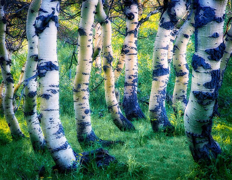 Twisted Aspen trunks in Steens Mountain, Oregon.