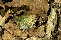 LE14-064x  Luna Moth - cocoon on forest floor - Actias luna