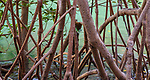 White mangrove (Avicennia marina), Kimberley, Western Australia, Australia<br /> <br /> Canon EOS 5D Mark III, EF24-105mm f/4L IS USM lens, f/22 for 1/13 second, ISO 1250