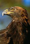 Golden Eagle, Colorado