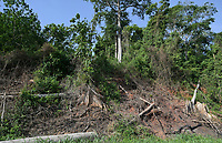 IVORY COAST, Yamoussoukro, deforestation for new plantaions like oil palms, rubber and timber trade, cotton tree / ELFENBEINKUESTE, Yamoussoukro, Abholzung für Plantagen und Holzhandel