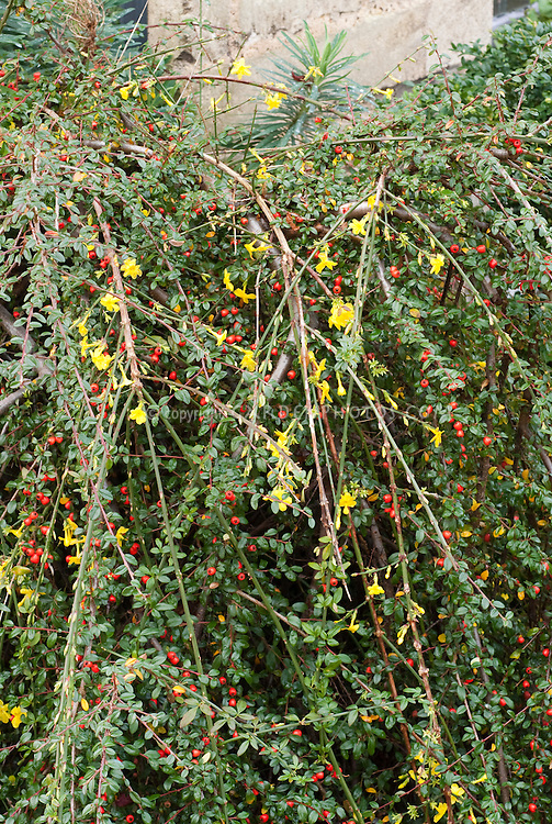 Jasminum nudiflorum, Winter Jasmine against cotoneaster in berry