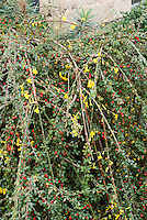 Jasminum nudiflorum, Winter Jasmine against cotoneaster in berry