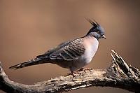 Crested Pigeon, Ocyphaps lophotes, Australia
