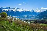 Italy, South Tyrol (Trentino - Alto Adige), Val Venosta, above Sluderno: irrigation at blossom time and Ortler Alps | Italien, Suedtirol (Trentino - Alto Adige), Vinschgau, oberhalb Schluderns: Obstbaumbluete, Bewaesserung und Ortler-Alpen