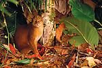 Bornean Bay Cat, Borneo Malaysia