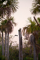 Lagoa das Araras in Cerrado Brasil is a magic place where the Ara Parrots created their nest in the palm trunk. At the sunset  light in silent atmosphere couple of parrots flight to find food for their chichks