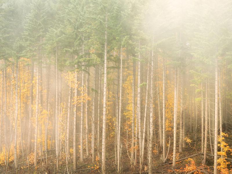 Douglas fir and maple trees with fog and fall color. Washington