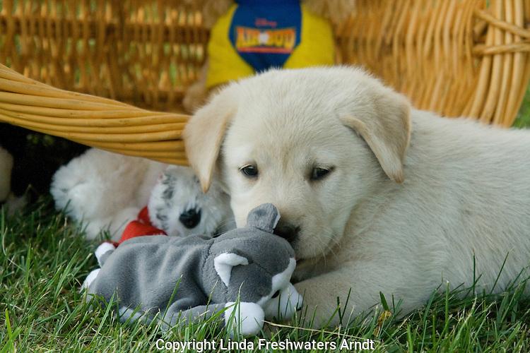 Yellow Labrador retriever (AKC) puppy playing with stuffed animals