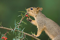 Eastern Fox Squirrel, Sciurus niger, adult eating  Agarita (Berberis trifoliolata) berries, Uvalde County, Hill Country, Texas, USA