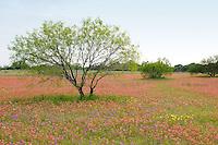 Indian Paintbrush Flowers, San Antonio, Texas