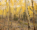 A thick grove of aspen trees dressed in golden fall color.