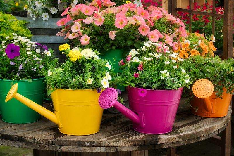 Flower variety growing in watering can display. Al's Gardens. Sherwood, Oregon