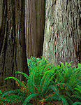 Jedediah Smith Redwoods State Park, CA<br /> Detail of Redwood (Sequoia sempervierns) trunks and Sword Ferns (Polystichum munitum) in the Stout Grove