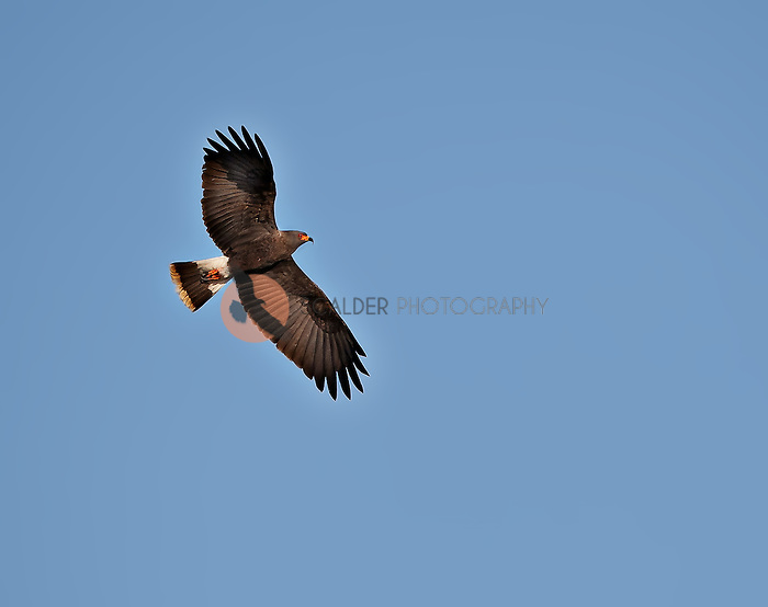 Male Snail Kite in flight against a bright blue sky
