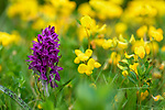 Broad-leaf marsh orchid (Dactylorhiza majalis) in ancient alpine meadow. Nordtirol, Austrian Alps, Austria, June.