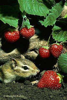MA02-036z   Chipmunk - eastern eating strawberries (honeyoke variety) - Tamias striatus