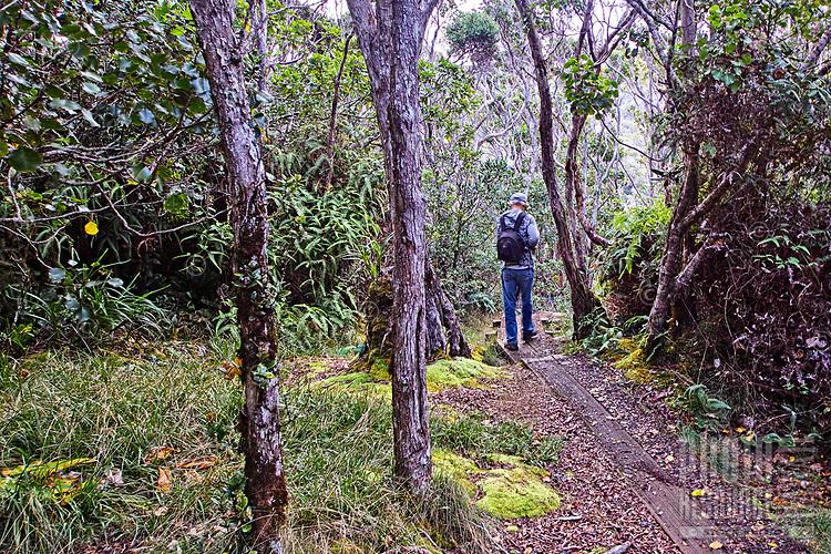 A hiker walks on one of the many boardwalks on the Alaka'i Swamp Trail towards Kilohana Lookout on Kaua'i. Many boardwalks cover parts of the trail that are otherwise impassable during the rainy season.