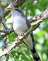 Yellow-billed cuckoo adult in tree. This bird rapidly started builing a nest in our back yard to attract a female, but she(?) rejected it and both birds disappeared- she didn't like the neighborhood.