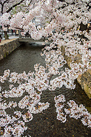 Japan, Kyoto. Cherry blossoms on the river.