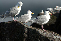Gulls, Orcas Island, San Juan Islands, Washington, US