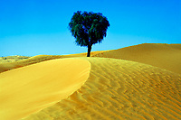 Lonely tree growing in the sand dunes of the Arabian desert, on a hot, sunny day, near Dubai, United Arab Emirates, Asia