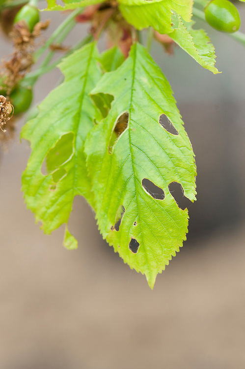Holes in leaves of cherry tree caused by caterpillars of winter moth (Operophtera brumata), early May.