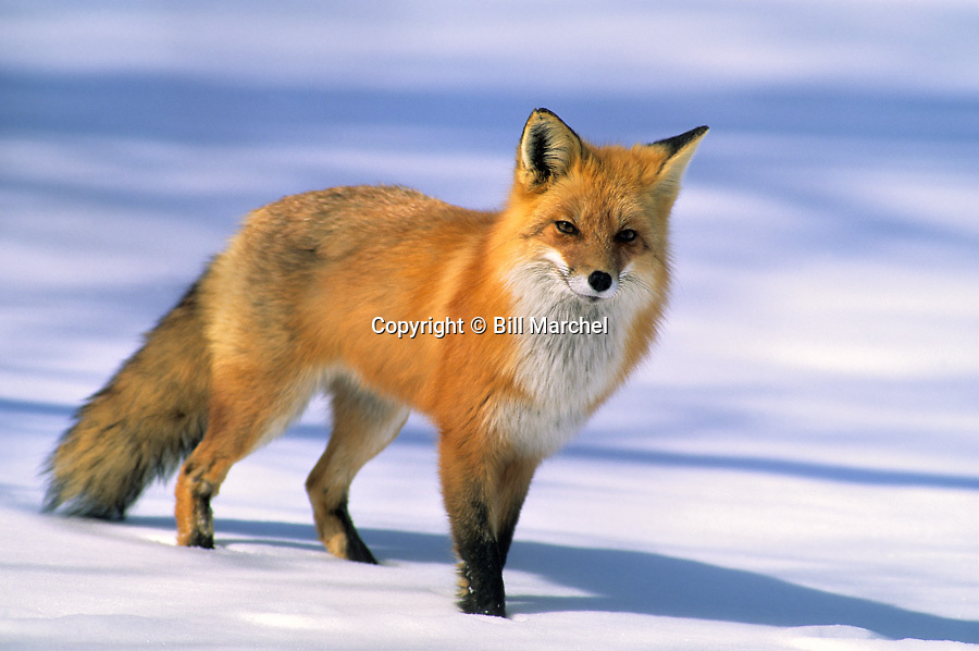 00430-001.03 Red Fox on snow covered ice of river during winter.  H6R2   MN