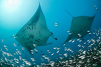 reef manta rays, Mobula alfredi, at cleaning station by Hanifaru Bay entrance, on patch reef with silversides or glassfish; Hanifaru Lagoon, Baa Atoll, Maldives, Indian Ocean