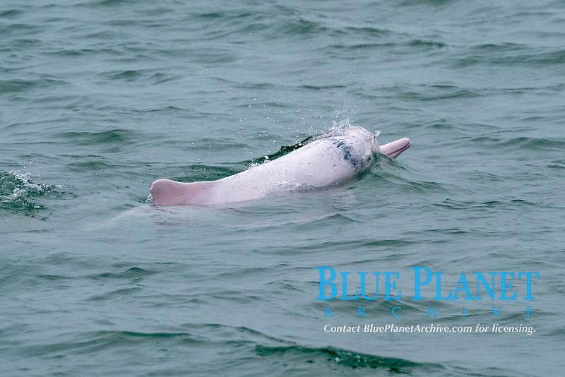 Chinese white dolphin or Indo-Pacific Ocean humpback dolphin, Sousa chinensis, surfacing. Hong Kong, Pearl River Delta
