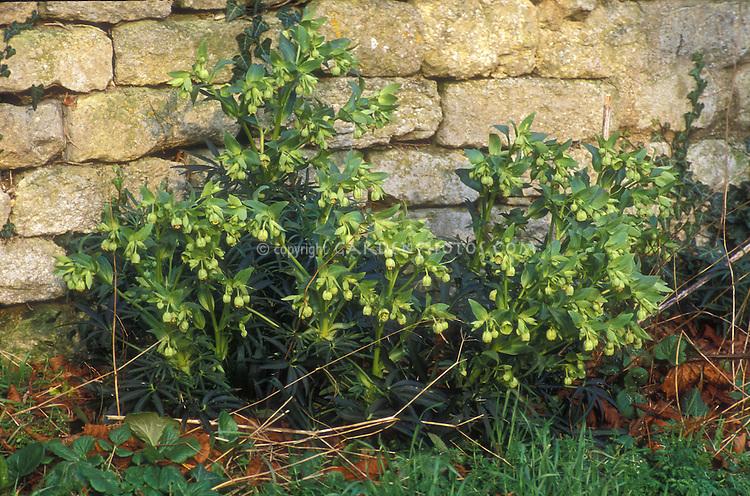 Helleborus foetidus growing at base of  stone wall, perennial hellebore in flower