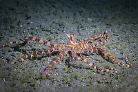 Wunderpus photogenicus octopus crawling over the sand in Lembeh